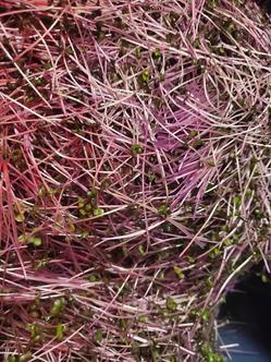 Microgreens 6.jpg