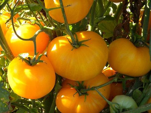 Tomatoes - Azoychka Tomato Seedling