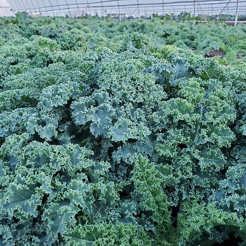 Kale - Blue Curled Kale Seedling - Pack of 4