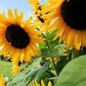 Flowers - Sunflower (Black Oil) Seedling - Pack of 4