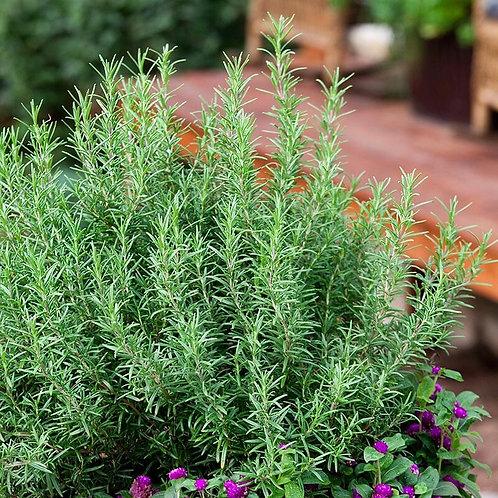 Herbs - Rosemary Plant Seedling