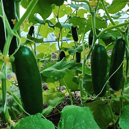 Cucumber - Tender Green Burpless