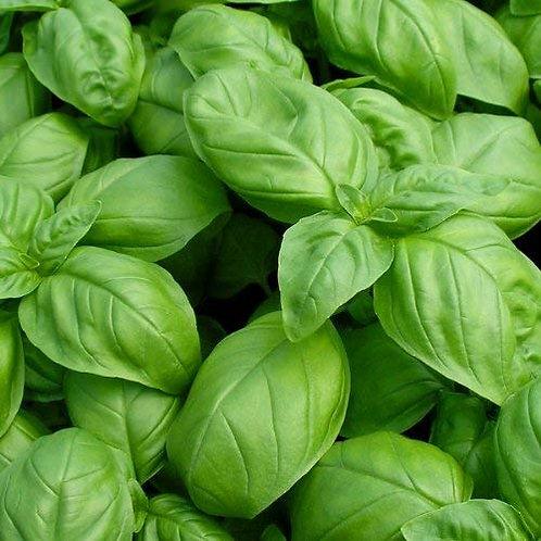 Herbs - Genovese Basil Seedling