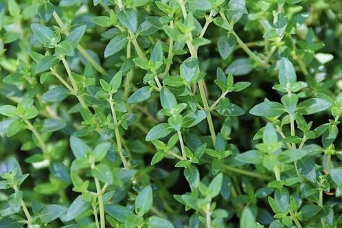 Herbs - Thyme (German) Plant Seedling