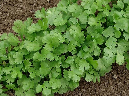 Herbs - Cilantro Plant Seedling