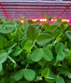 Pea Shoot Microgreens.jpg