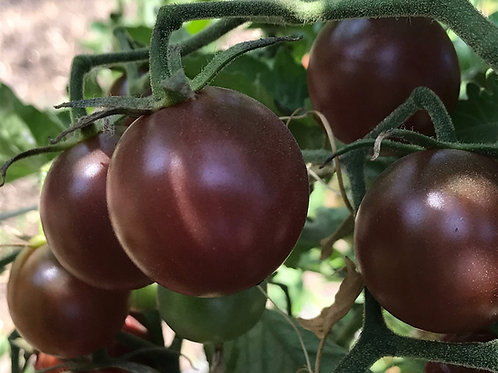 Tomatoes -Black Cherry Tomato Seedling