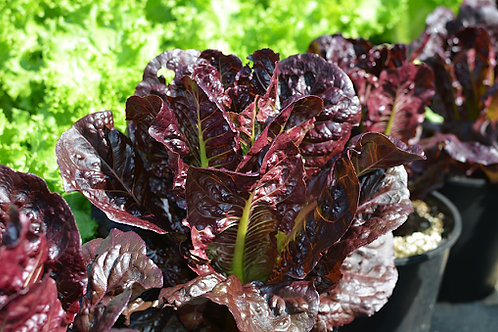Lettuce - Rouge D'Hiver (Red Romaine) - Pack of 4