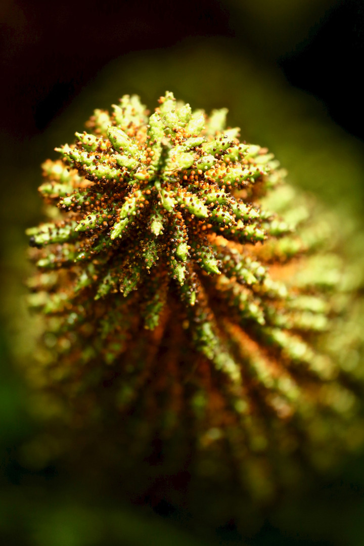 Nalca flower