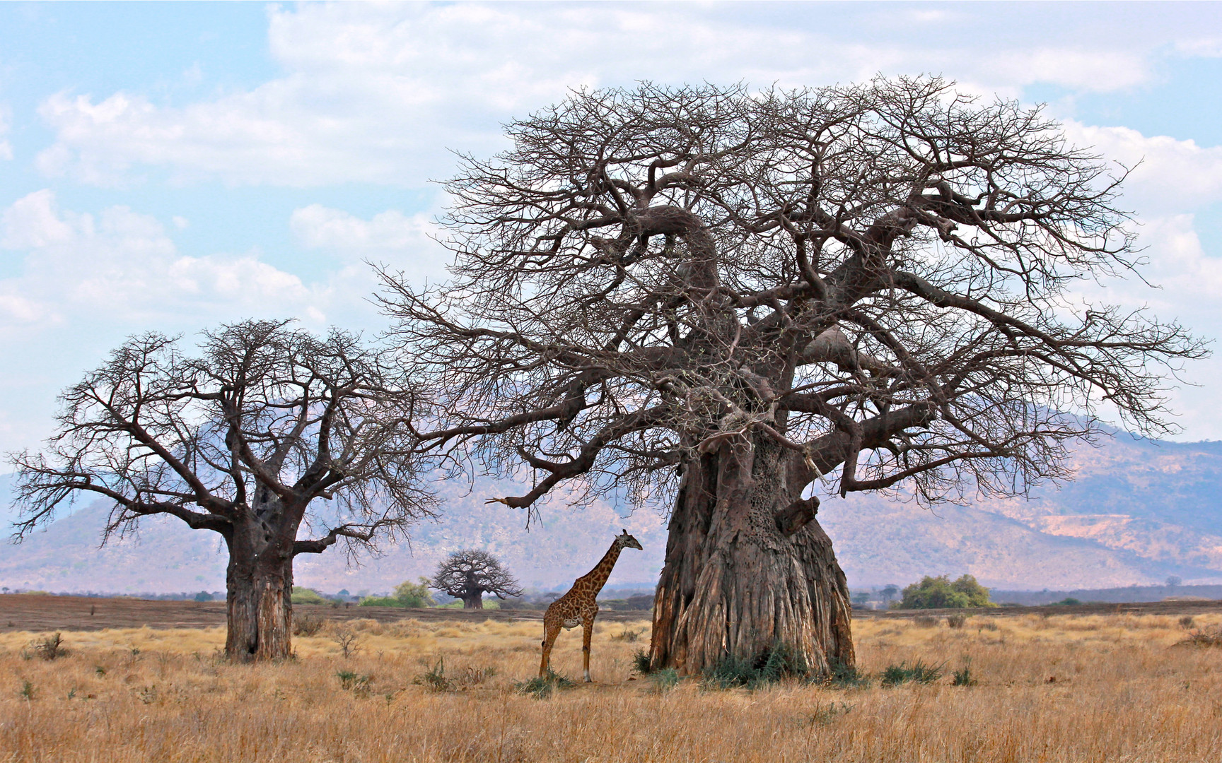 Dwarfed Giraffe