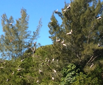 My pelican family in the trees.