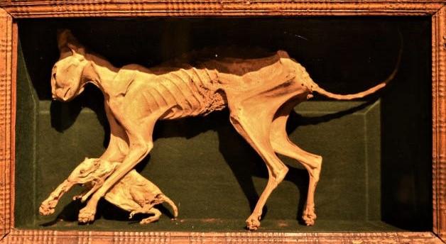La gata disecada del dux Morosini, Nini, con un ratón entre sus patas (Museo Correr)
