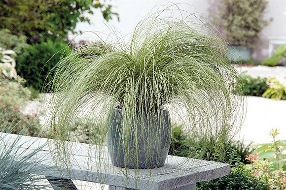 Carex Comans (Frosted Curls)