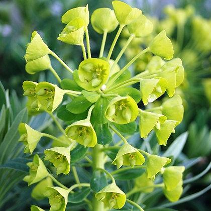 Euphorbia Wulfenii (SPURGE)