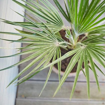 Chamaerops Humilis (Dwarf fan palm)
