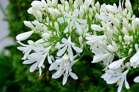 Agapanthus Africanus Alba (African lily)