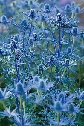 Eryngium Big Blue (Sea Holly)