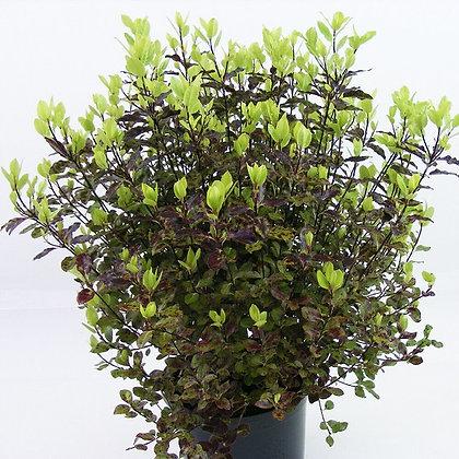 Pittosporum tenuifolium - Tom Thumb