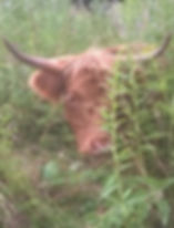 eco-pâturage dordogne, highland  cattle