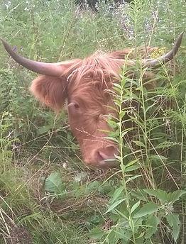 eco-pâturage dordogne, highland  cattle