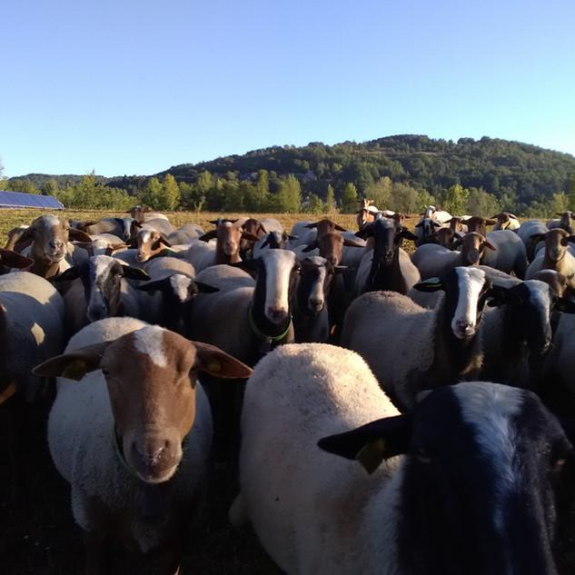 élevage et éco-pâturage