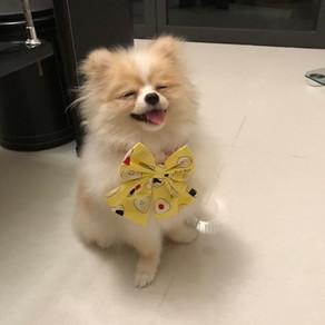 Meet Chewie (Pomeranian, 1 year old)