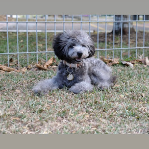 Meet Sio Bah (Silver Toy Poodle, 6 months old)