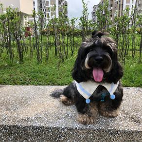 Meet Tobie (Miniature Poodle, 4 years old)