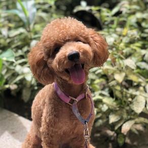 Meet Teddy (Poodle, 2 years old)