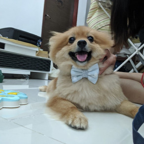 (Unavailable) Meet Cookie (German Spitz Klein, 2 years old)