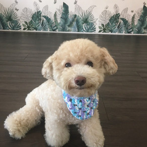 Meet Smiley (Toy Poodle, 3 years old)