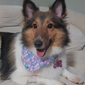 Meet Chloe (Shetland sheepdog, 1 years old)