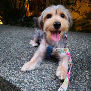 Meet Macky (Morkie, 11 months old)
