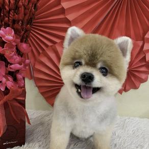 Meet XiaoBao (Pomeranian, 11 years old)