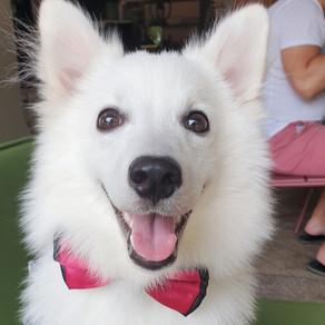 Meet Kaya (Japanese Spitz, 7 months)