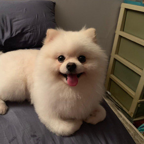 Meet Raylan (Pomeranian, 3 years old)