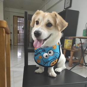 Meet Clifford (Corgi, 1 years old)
