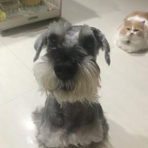 Meet TJ (Miniature schnauzer, 8 years old)