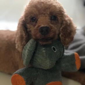 Meet Khookie (Toy Poodle, 9 years old)