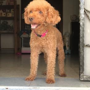 Meet Lola (Toy Poodle, 6 years old)
