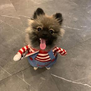 Meet Dudu (Pomeranian, 2 years old)