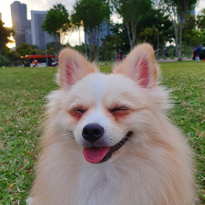 Meet Levi (Pomeranian, 1 year old)