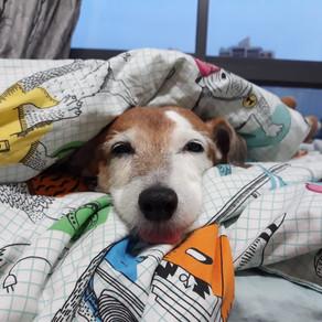 Meet Chocolate (Jack Russell Terrier, 12 years old)