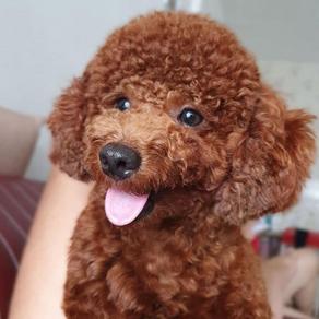 Meet Loki (Toy Poodle, 1 year old)