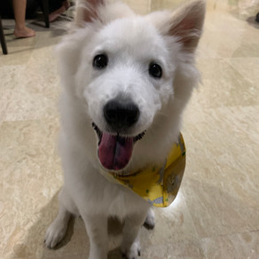 Meet Mochi (Samoyed, 1 year old)