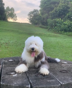Meet Belle (Old English Sheepdog, 9 months old)