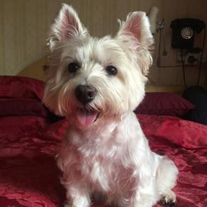 Meet Coco (Westie, 9 Years Old)