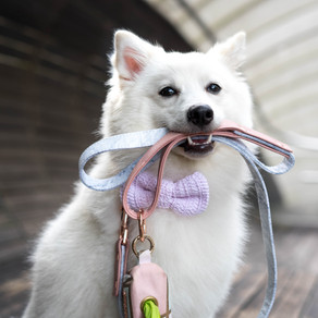 (Unavailable) Meet Colby (Japanese Spitz, 11 months)