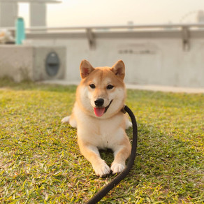 Meet Bisous (Shiba Inu, 8 months old)
