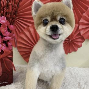 Meet Dabao (Pomeranian, 11 years old)